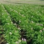 овощи в поле фото