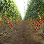 Импортозамещение тепличных овощей