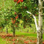 Импортозамещение яблок