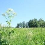 сортовые травы